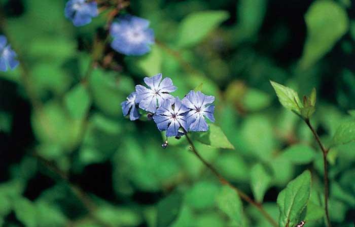 Cerato bloem voor hooggevoeligheid